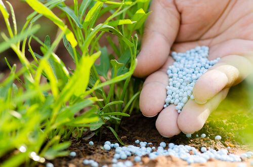 Farmer hand adding chemical fertiliser to young plant
